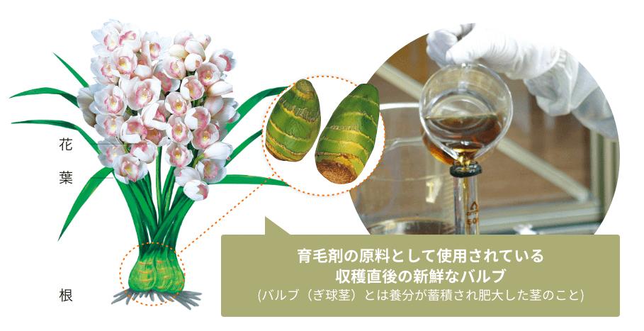 育毛剤の原料として使用されている収穫直後の新鮮なバルブ (バルブ(ぎ球茎)とは養分が蓄積され肥大した茎のこと)