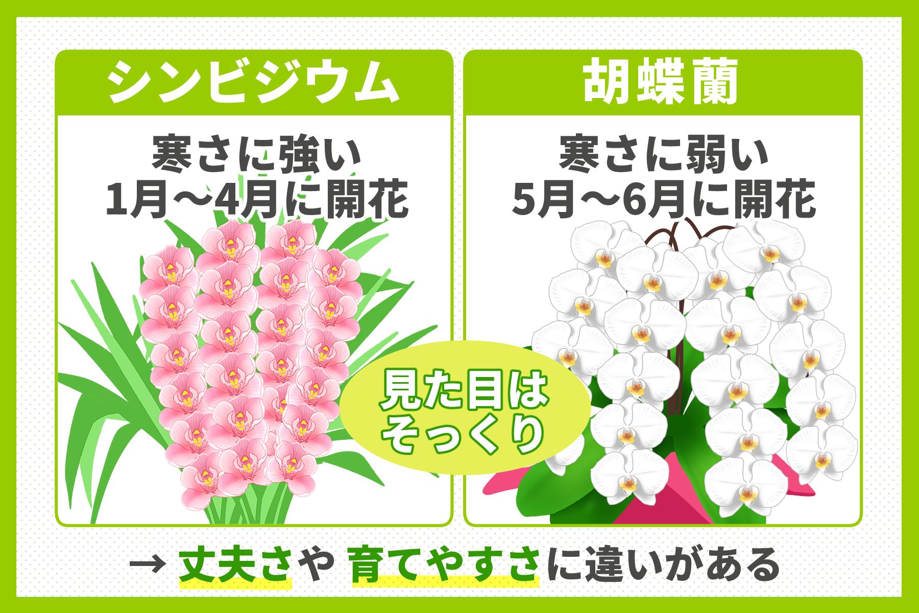 シンビジウムと胡蝶蘭の違いのイメージ画像