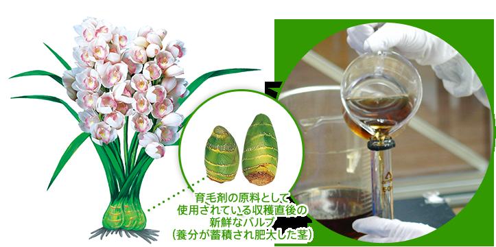 育毛剤の原料として使用されている収穫直後の新鮮なバルブ(養分が蓄積され肥大した茎)