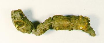 有効成分タマサキツヅラフジアルカロイド