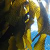 海藻エキス(1)